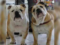 Inseminação Artificial Cães/Cachorros
