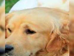 Luxação Patelar em Cães
